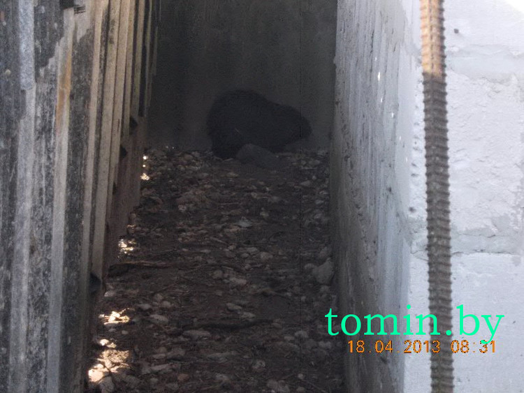 В Жабинке в курятнике поймали бобра