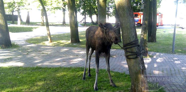 В Брестском парке поймали молодую лосиху