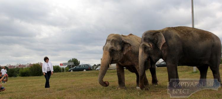 Слоны вызвали небольшой ажиотаж у Брестчан