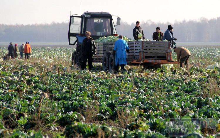 Ярмарки прямо на поле организуют для брестчан близлежащие хозяйства