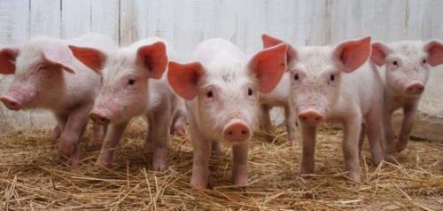Столинский район объявлен угрожаемой зоной по африканской чуме свиней