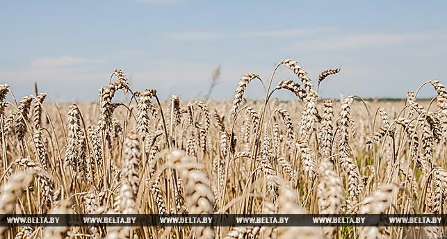 Аграрии Столинского и Березовского районов первыми завершили жатву в Брестской области