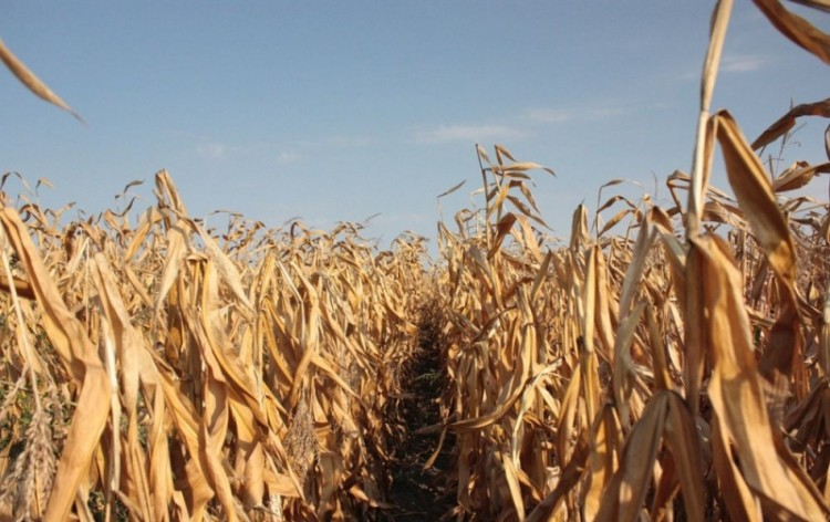 В Пружанском районе охотник по ошибке застрелил своего друга на кукурузном поле