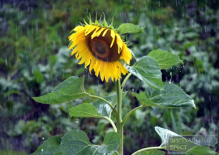 Сильные дожди пройдут кое-где по Республики Беларусь 5сентября