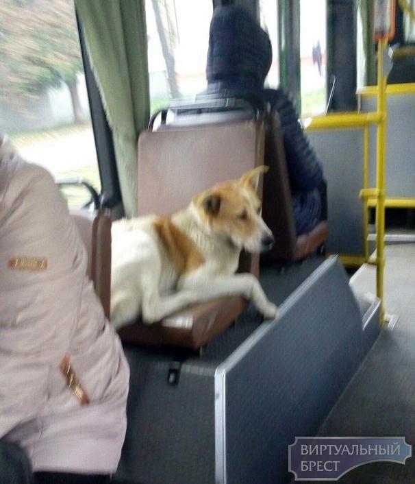 В Бресте собака катается на автобусах, и никто её не может выгнать