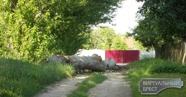 Как спасали аистят с упавшего дерева в д. Скоки под Брестом