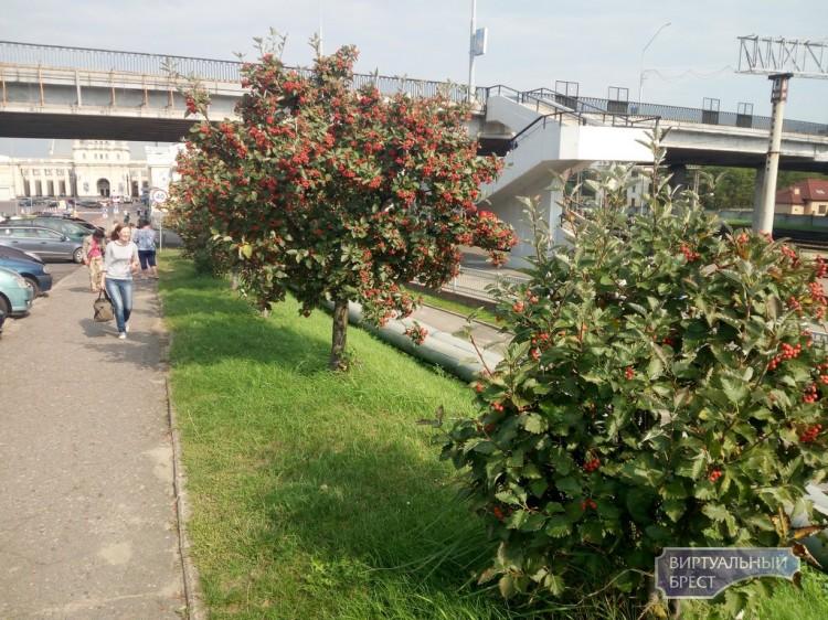 Фотофакт: Обильный урожай боярышника у Брестского ж/д вокзала