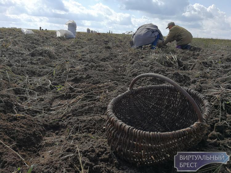 В Беларуси в 2017 году ожидается урожай картофеля в 5,7 млн т