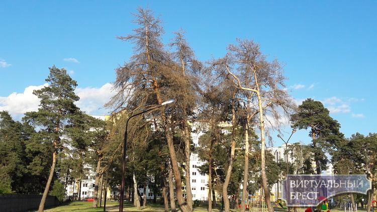 Сухие деревья в городе - угроза или допустимая норма?