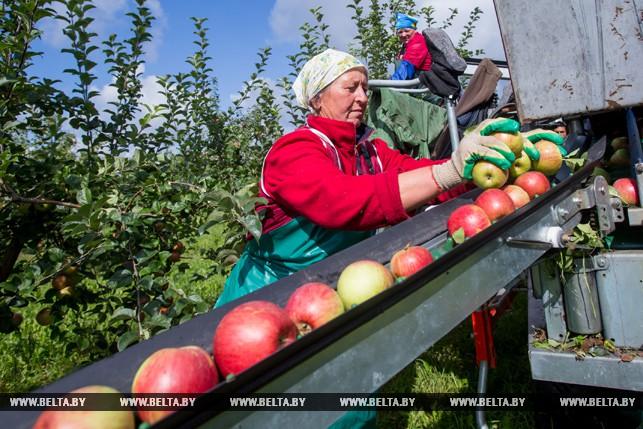 """Искушение яблоком: как проходит высокий сезон в саду """"Чернавчицы"""""""