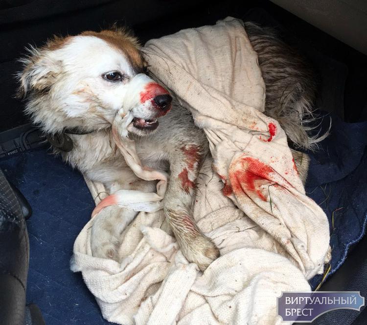 Сбитую автомобилем собаку на Московской спасли и передали хозяевам
