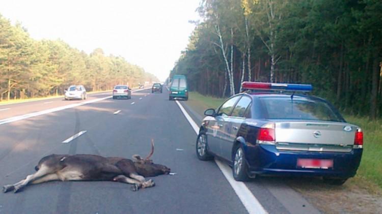 Под Барановичами неизвестный водитель сбил лося и скрылся с места происшествия