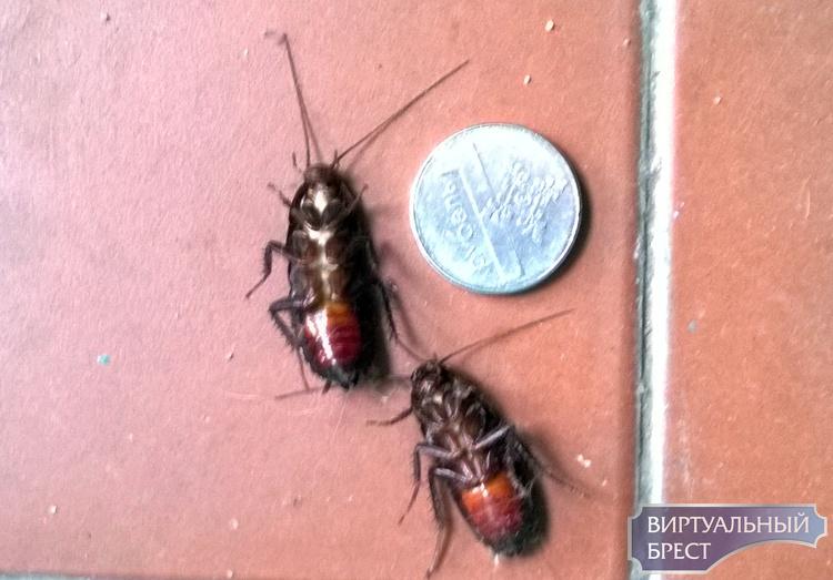 """""""Чужие"""" пришли... Гигантские тараканы терроризируют жильцов брестской многоэтажки"""