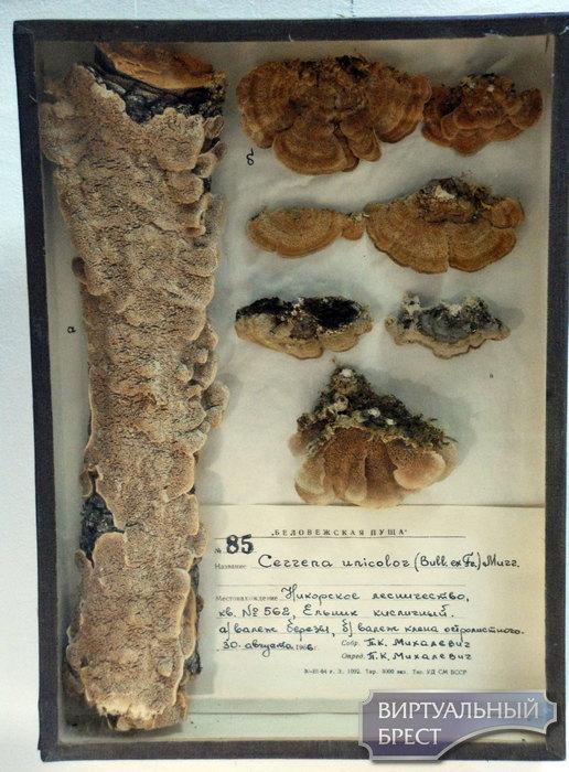 Выставка грибов-трутовиков, мхов и лишайников работает в Бресте