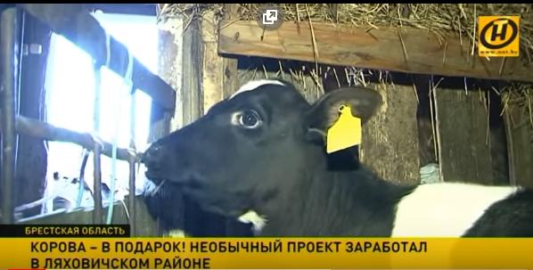 Корова - в подарок! Необычный проект в Ляховичском районе