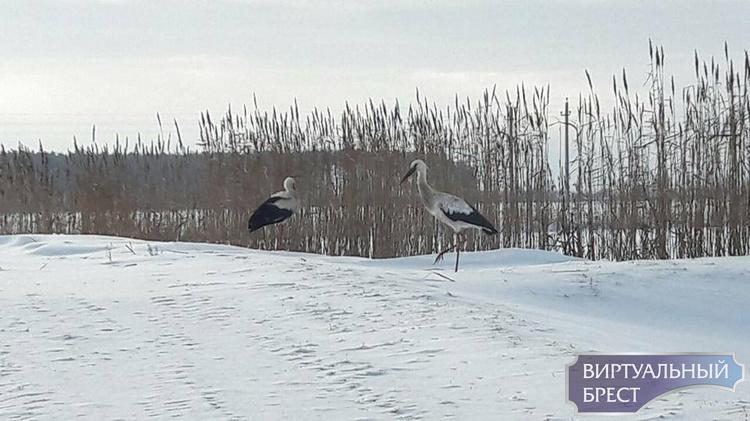 Два аиста остались зимовать на снегу. Один не смог взлететь, второй его не бросил