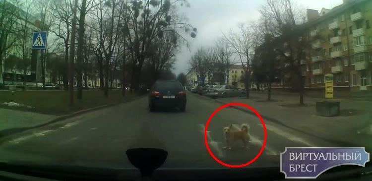 Пешеходам на заметку... Даже собаки в Бресте при переходе улицы смотрят по сторонам