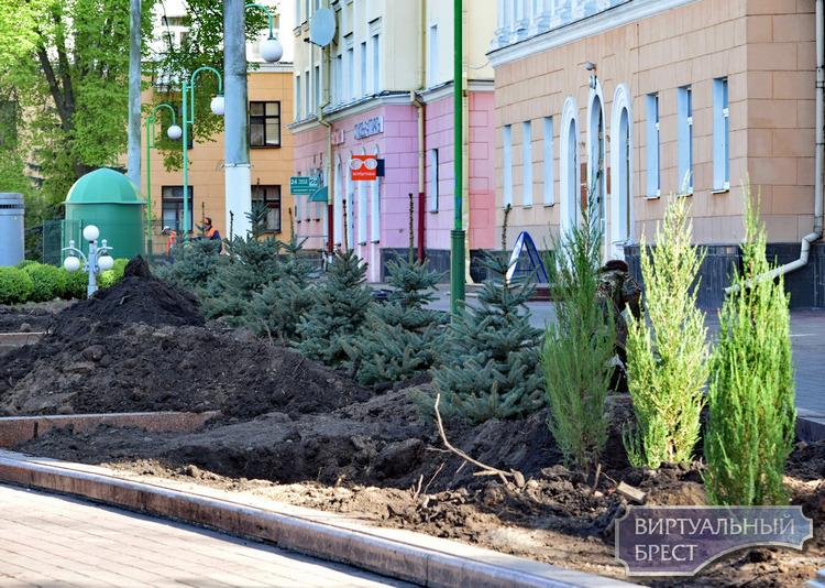 Голубые ели Хупси уже прописались на площади Ленина