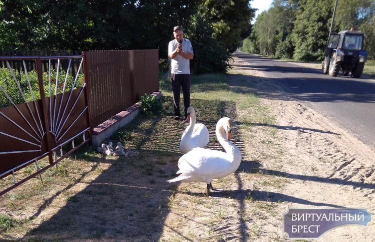 Семья лебедей с птенцами пришла во двор жителей деревни под Брестом