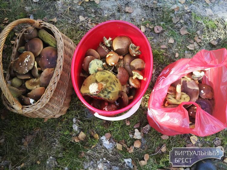 Польские грибы оккупируют лес, на подходе колпак кольчатый