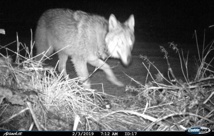 Молодая Луна Полесья: беларусы выбрали имя для волчицы