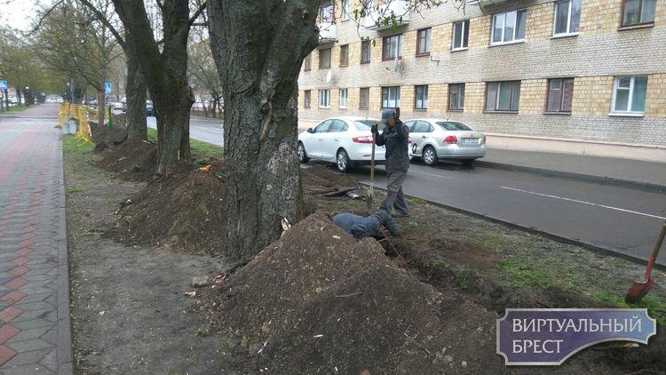 Судьба деревьев на Гоголя под вопросом? Переживут ли они прокладку кабеля?