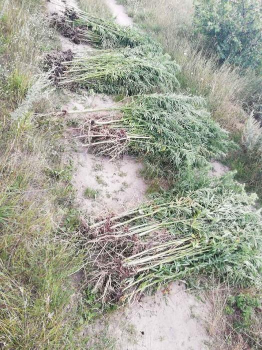 Почти полтонны конопли уничтожили в Березовском районе