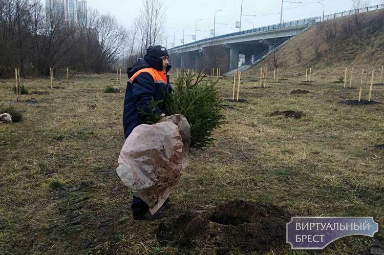 Упор на хвойные. Брестское городское ЖКХ продолжает мероприятия по посадке деревьев