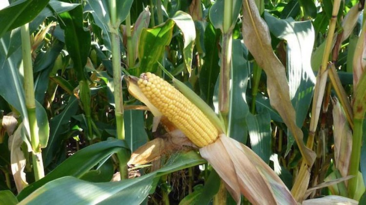 Посевы кукурузы в Брестской области увеличат на 20 тыс. га по сравнению с прошлым годом