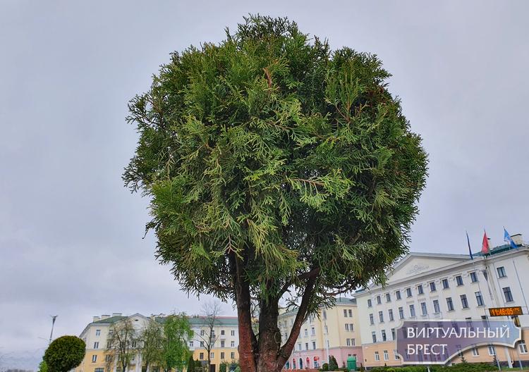 Показываем, как сейчас выглядит пл. Ленина в Бресте, на которую вернулись шаровидные туи