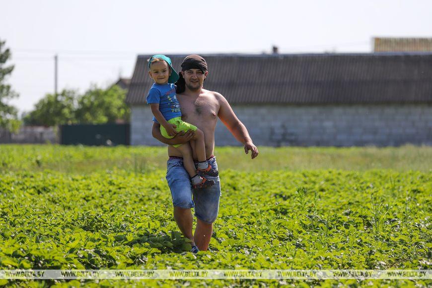 Репортаж прямо из Дворца: в Лунинецком районе созрела клубника