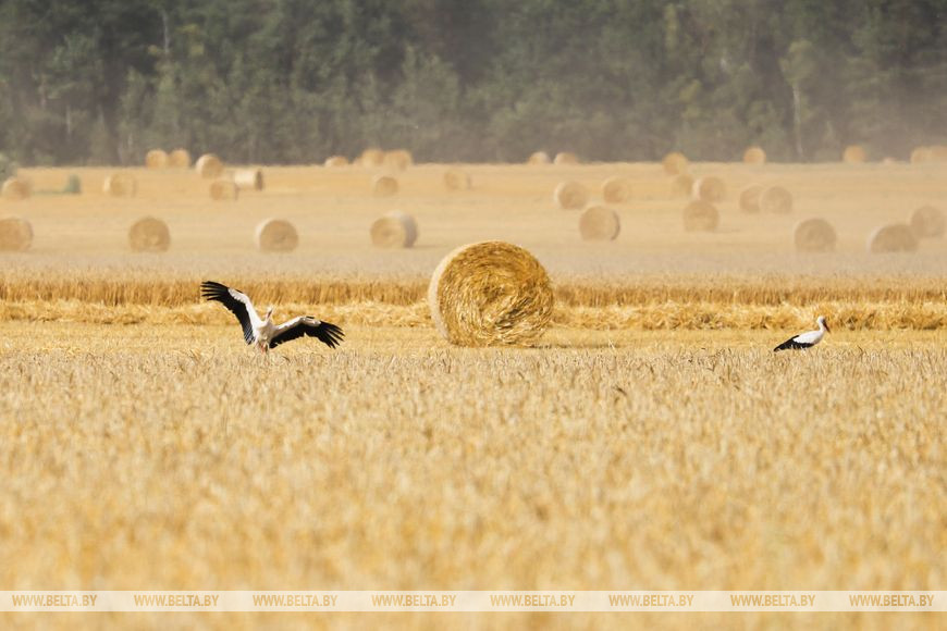 Пружанский район первым в Брестской области намолотил 100 тыс. т зерна