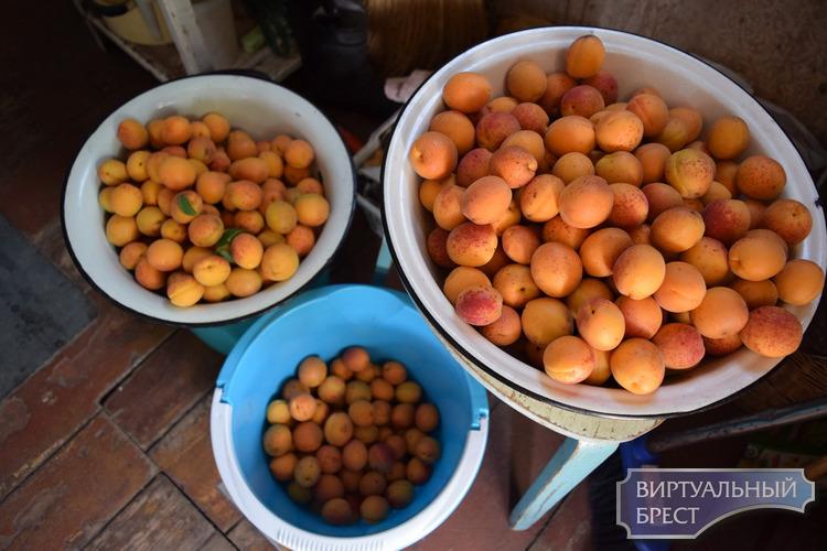 В этом году попёрло: урожай абрикосов и котят под Брестом. Дневник дачника с Дубровки